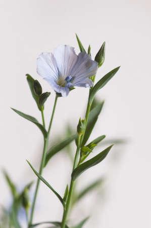 Flax (Linum usitatissimum) flowers over light background, close up shot, local focus Imagens - 129355548