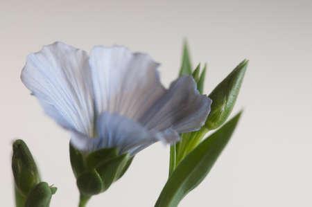 Flax (Linum usitatissimum) flowers over light background, close up shot, local focus Imagens - 129355556
