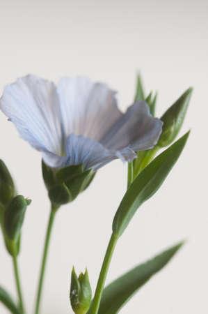 Flax (Linum usitatissimum) flowers over light background, close up shot, local focus Imagens - 129355549
