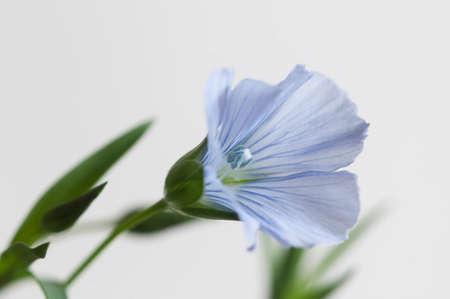 Flax (Linum usitatissimum) flowers over light background, close up shot, local focus Imagens - 129355560