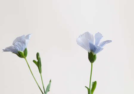 Flax (Linum usitatissimum) flowers over light background, close up shot, local focus Imagens - 129355554