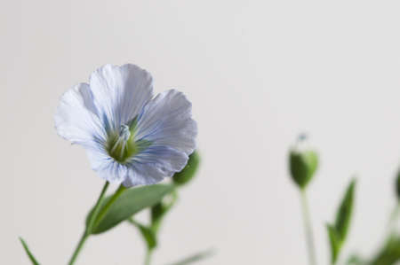 Flax (Linum usitatissimum) flowers over light background, close up shot, local focus Imagens - 129355565