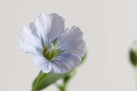 Flax (Linum usitatissimum) flowers over light background, close up shot, local focus Imagens - 129355564