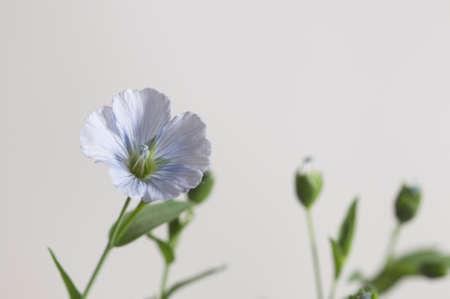 Flax (Linum usitatissimum) flowers over light background, close up shot, local focus Imagens - 129355562