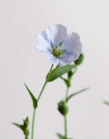 Flax (Linum usitatissimum) flowers over light background, close up shot, local focus Imagens - 129355563