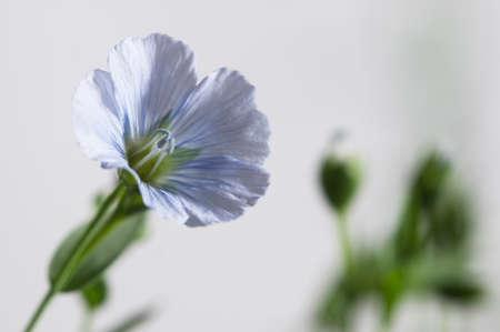 Flax (Linum usitatissimum) flowers over light background, close up shot, local focus Imagens - 129355568