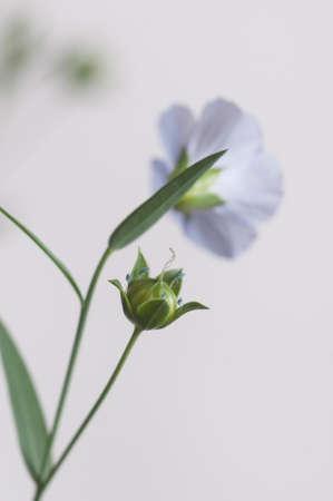 Flax (Linum usitatissimum) flowers over light background, close up shot, local focus