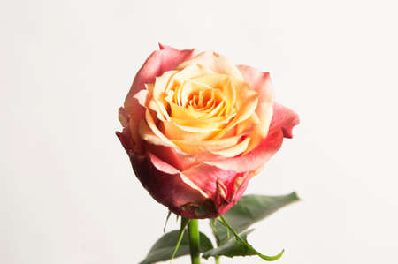 Rose flower on white background close up