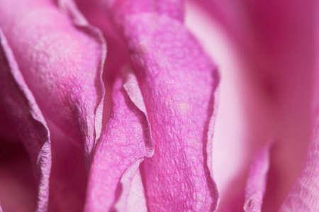 Dry rose petals, macro shot, local focus