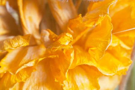 Dry Ranunculus flower, close up shot, local focus Imagens