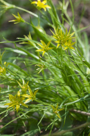 Yellow  star-of-Bethlehem (Gagea lutea) flowers in spring, close up shot, local focus Imagens