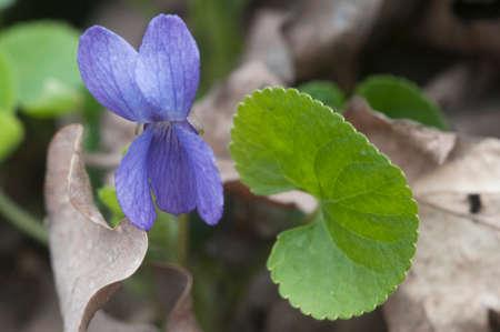 Viola palustris (marsh violet) flowers, close up shot Imagens