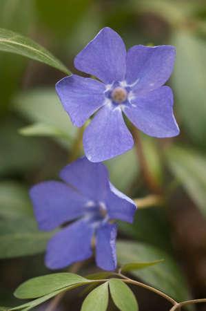 Vinca minor flowers in a spring park, close up shot Imagens