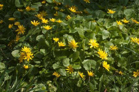 Buttercup ficaria flowers in spring, closeup shot