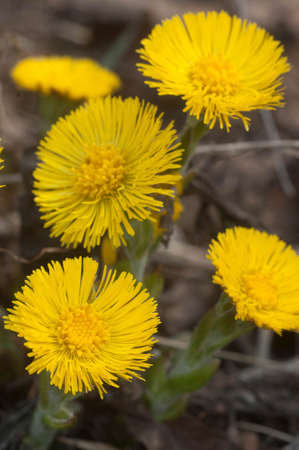 Coltsfoot (Tussulago farfara) flowers in spring, close up shot