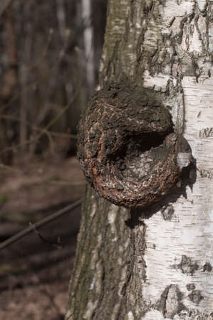 Burl on birch tree trunk, close up shot