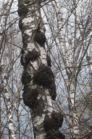 Birch tree with a lot of burles on the trunk Reklamní fotografie