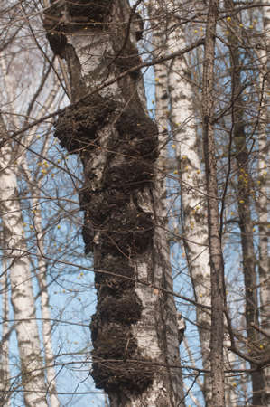 Birch tree with a lot of burles on the trunk Imagens