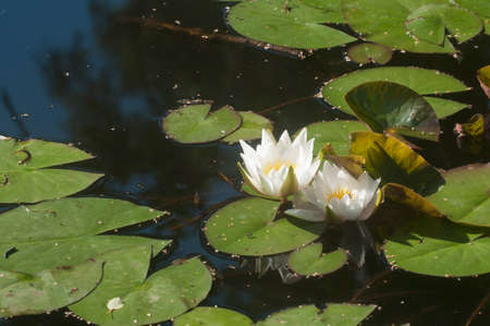 Water lilies (Nymphea) on a pond in city park Stock Photo