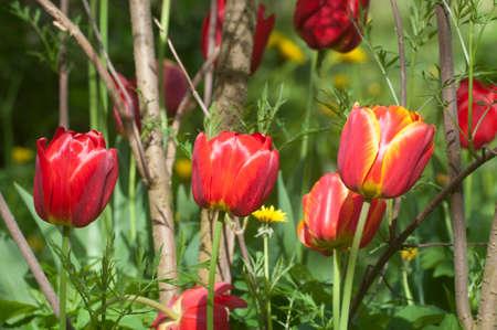 Red tulip, close up shot, local focus Stock Photo