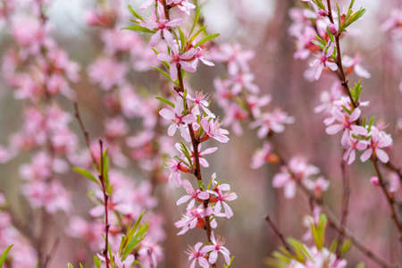 Branches of a decorative almond tree blooming with pink flowers