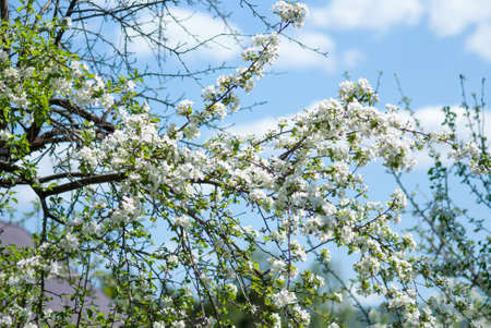 The apple tree blossomed with white flowers. Close-up on a background of blue sky