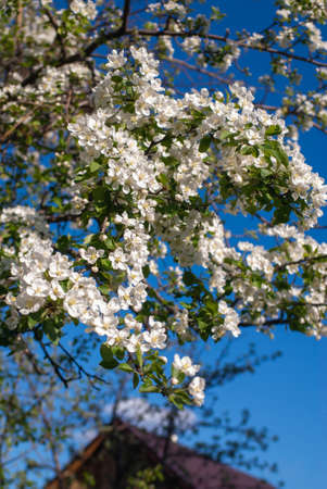 The apple tree blossomed with white flowers. Close-up on a background of blue sky Standard-Bild