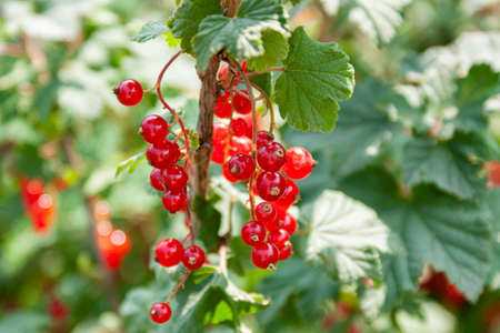 Bouquet of red currant berries (Ribes rubrum) on a branch with leaves close-up in sunny weather Stock fotó