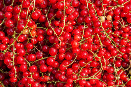 Harvest of ripe red currant berries (Ribes rubrum) close-up