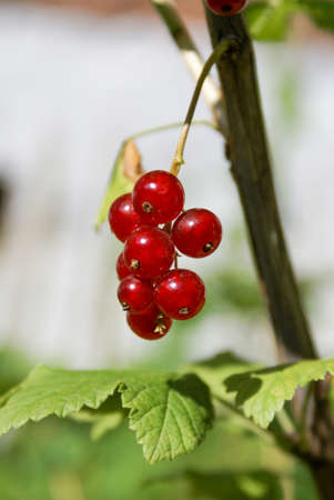 Bouquet of red currant berries (Ribes rubrum) on a branch with leaves close-up in sunny weather