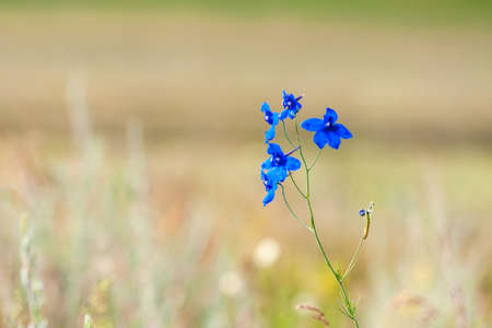 Blue delphinium flower in a meadow, on a summer sunny day.
