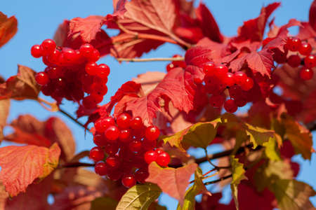 Ripe viburnum berries on a branch (Viburnum opulus) Close-up
