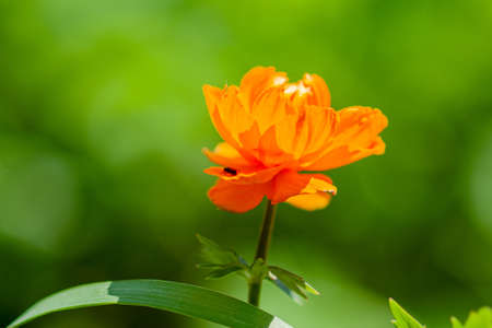 Bright orange flower on a sunny day. Close-up on a green background. Trollius. Siberia Фото со стока