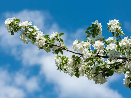 The Apple tree blossomed with white flowers in may. Close up