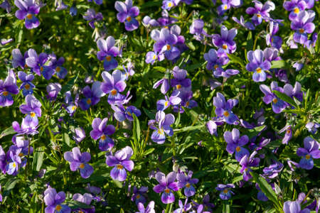 Bright lilac violets on a background of green leaves. Close-up on a Sunny day. Selective focus