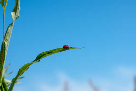 Pink fireweed flower (Ivan tea) with a ladybug on a leaf. Close-up on a background of blue sky Imagens