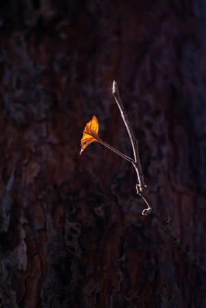 Autumn ray of sun falls on a branch of an apple tree with a dry leaf. Close-up of a branch on a background of pine. Selective focus 免版税图像