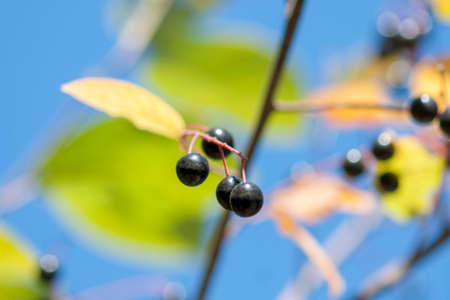 Bird cherry branch with ripe berries and yellow leaves against the blue sky. Autumn. Close-up. Selective focus