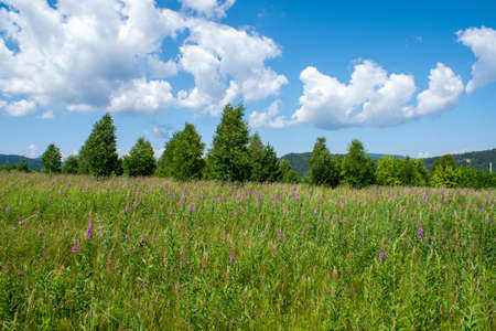 Green field with pink flowers of fireweed (Ivan - tea) on the background of the forest and blue sky with clouds