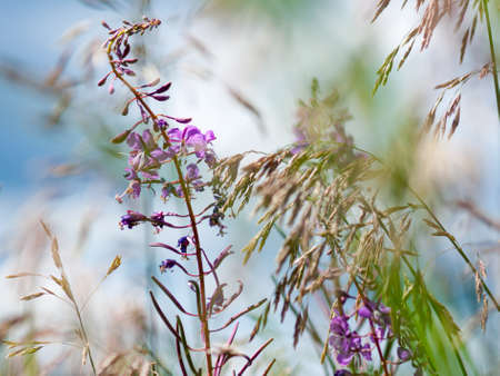 Flowers of fireweed (Ivan Chaya) and meadow fescue (Festuca partensis) on a bright sunny day. Close-up Imagens