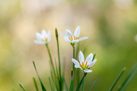 White Zephyranthes Flowers - White Lilies. Close-up. Selective focus 免版税图像