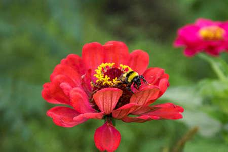 A bee collects honey from a bright red zinnia flower. Closeup of a flower and a bee on a sunny day. 免版税图像