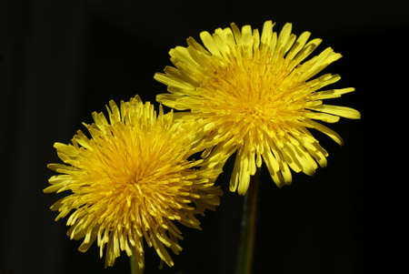 Yellow dandelion flowers. Close-up on an isolated black background 免版税图像