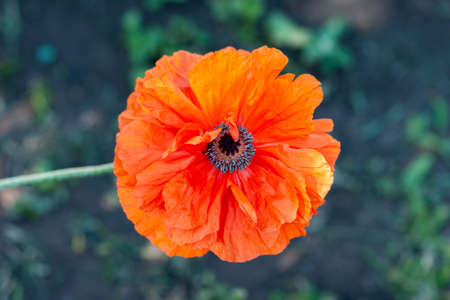 Decorative poppy flower with large peach blossom petals. Close up, selective focus.