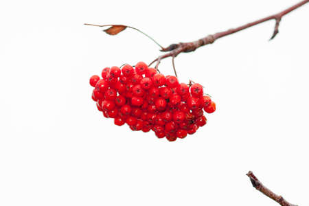 Rowan branch with a bunch of red ripe berries. Close-up on the background of the autumn sky. Selective focus