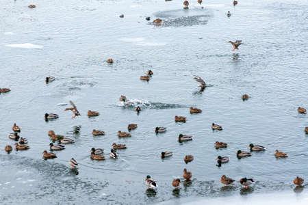 A flock of wild ducks swim in a harsh winter river. Siberia