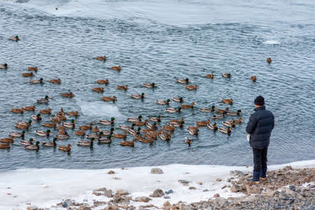A man feeds a flock of wild ducks swimming in a harsh winter river. Siberia