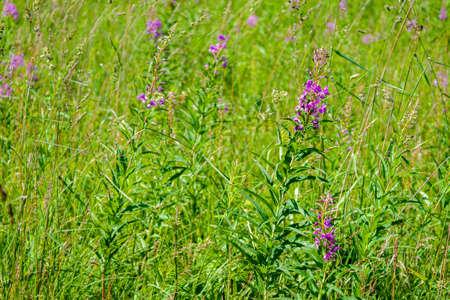 Field with Blooming Pink Fireweed Flowers (Ivan - Tea)