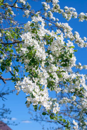 The Apple tree blossomed with white flowers in may Standard-Bild