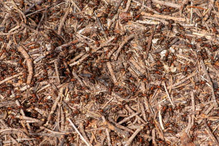 Colony of red forest ants close up on a summer sunny day